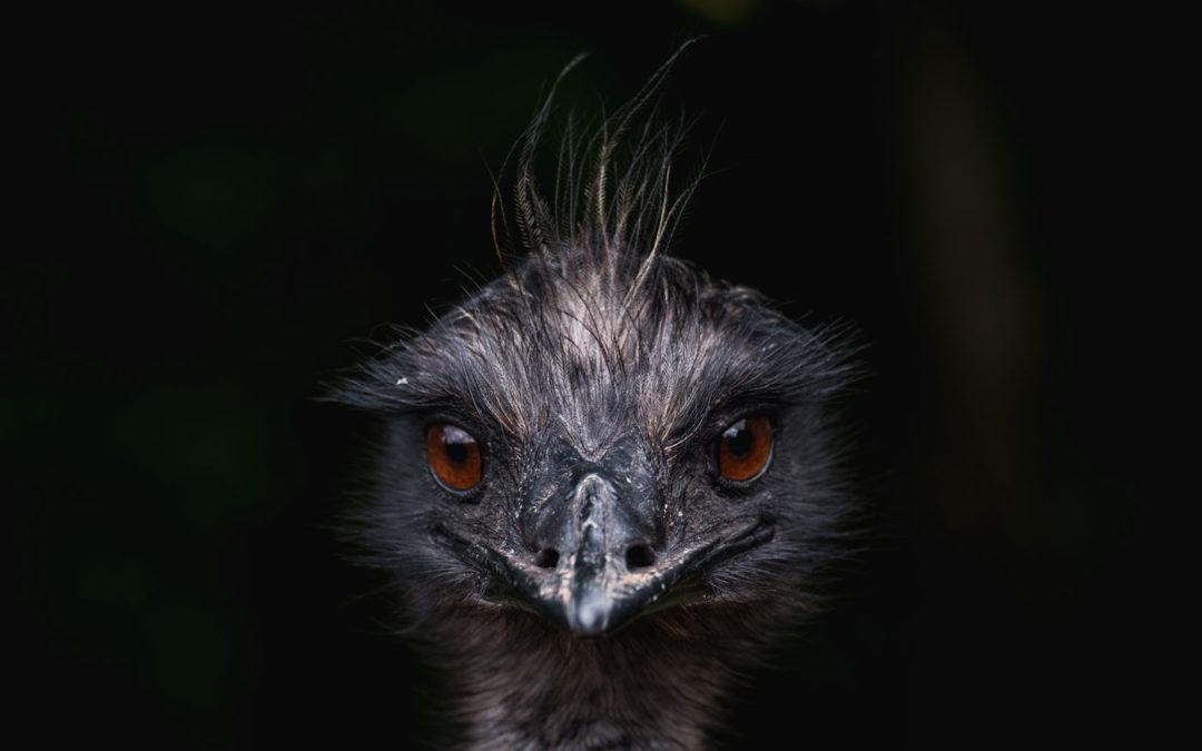 La absurda guerra del emú