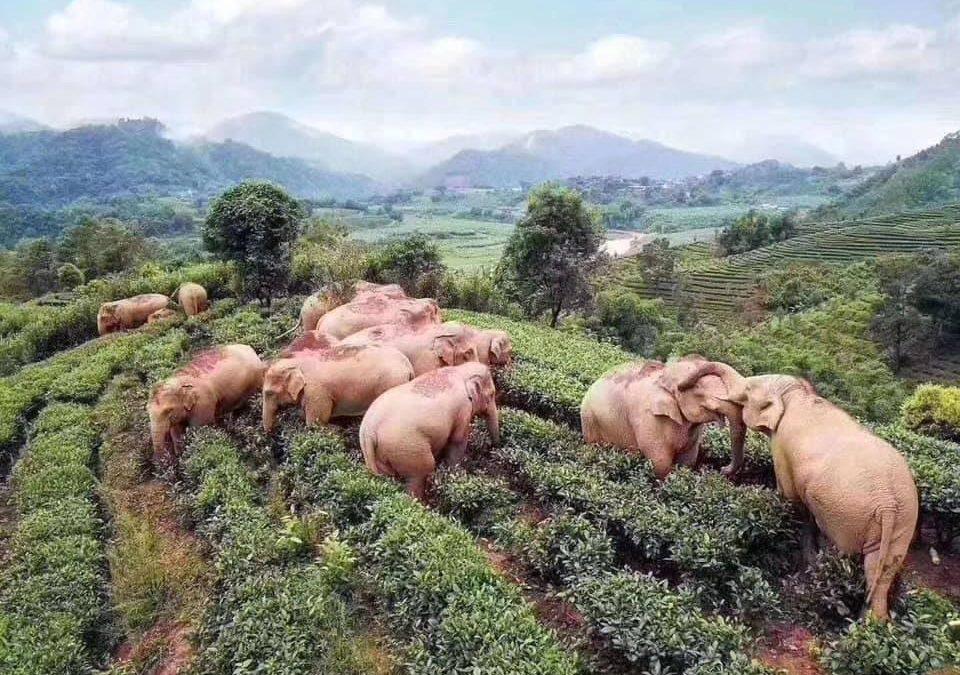 Bacanal de elefantes