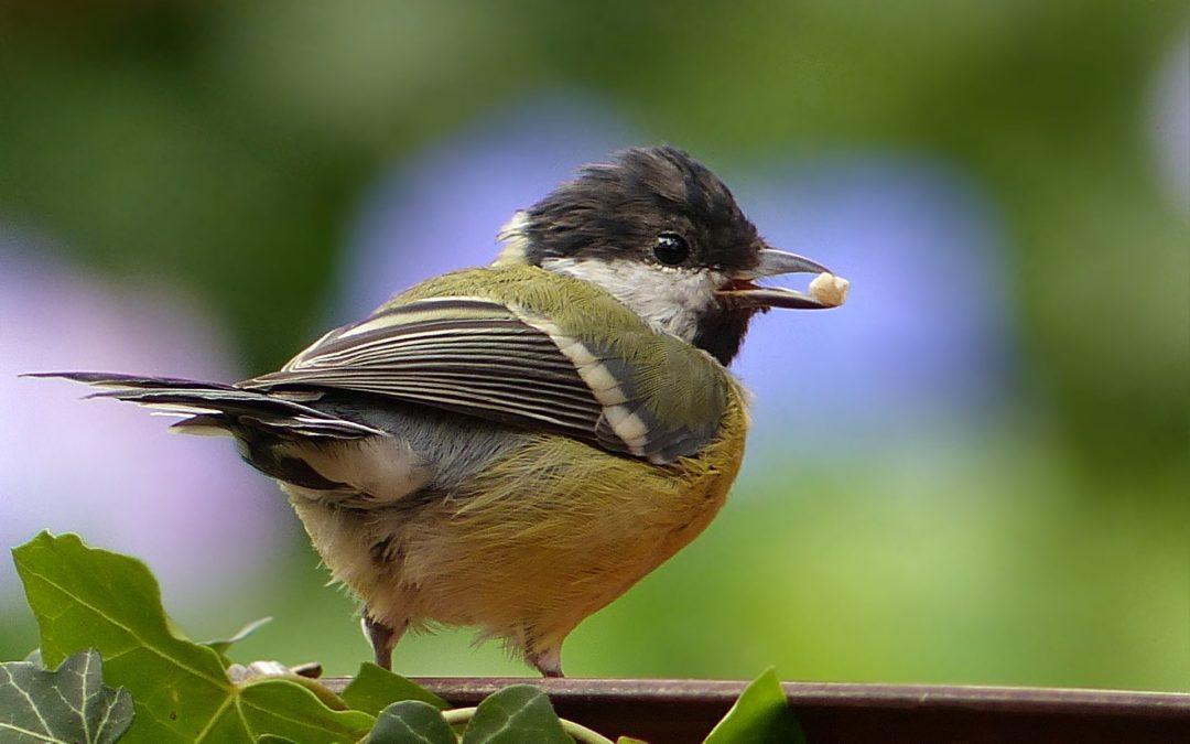 ¿Cuántas aves hay en tu jardín?