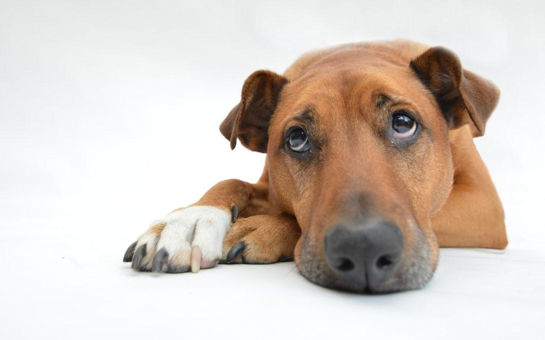 Un estudio revela que el cerebro de los perros difiere según la raza