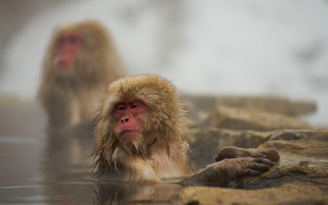 Los monos de la nieve